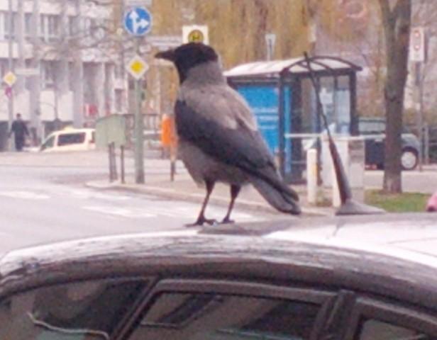 2015 Berlin: Corvus corone