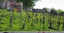 Hamburg vineyard