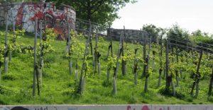 2017_05_23 Hamburg, Stintfang: Weinberg
