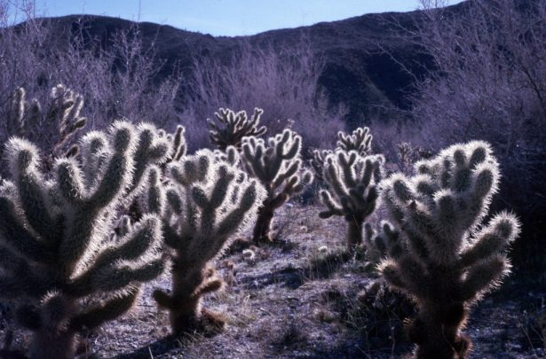 1986_12_23ca Anaza Borrego - Jumping cactus