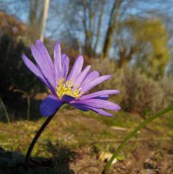 2020_03_27 Hamburg Goldbek-Aue: Balkanwindröschen Blue shades Anemone Blanda