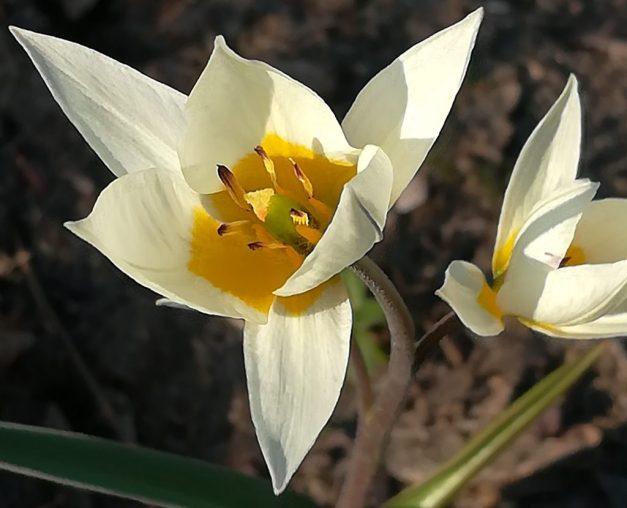2020_03_27 Hamburg Goldebek-Aue: Persische Tulpe Carolus Clusius Tulipa Clusiana