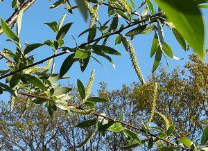 2020_04_25 Hamburg, Goldbekaue: Korbweide Salix viminalis / Salix alba ssp. vitellina