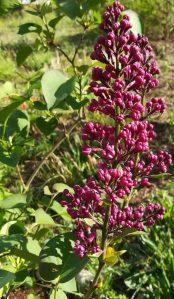 2020_04_25 Hamburg, Goldbek-Aue: Gemeiner Flieder Syringa vulgaris