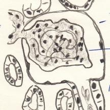 1968_06_25 - Niere Meerschweinchen 1 - Bleistift