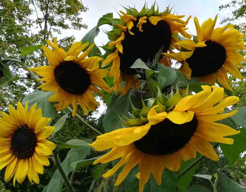 2020_10_09 Sonnenblume - Helianthus annuus