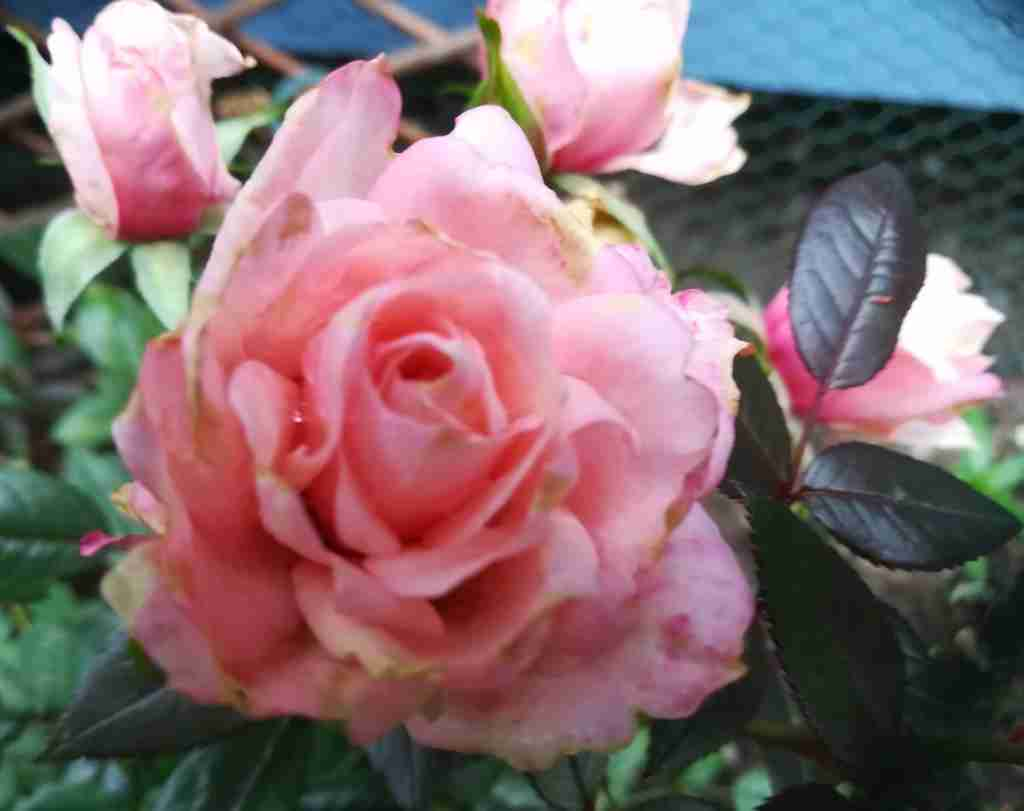 2020_10_09 Duftrose Rosa danica