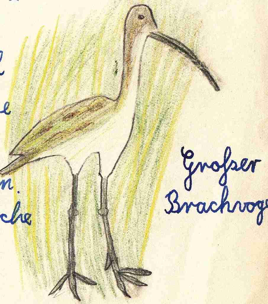 1957 Heimatkunde - Brachvogel