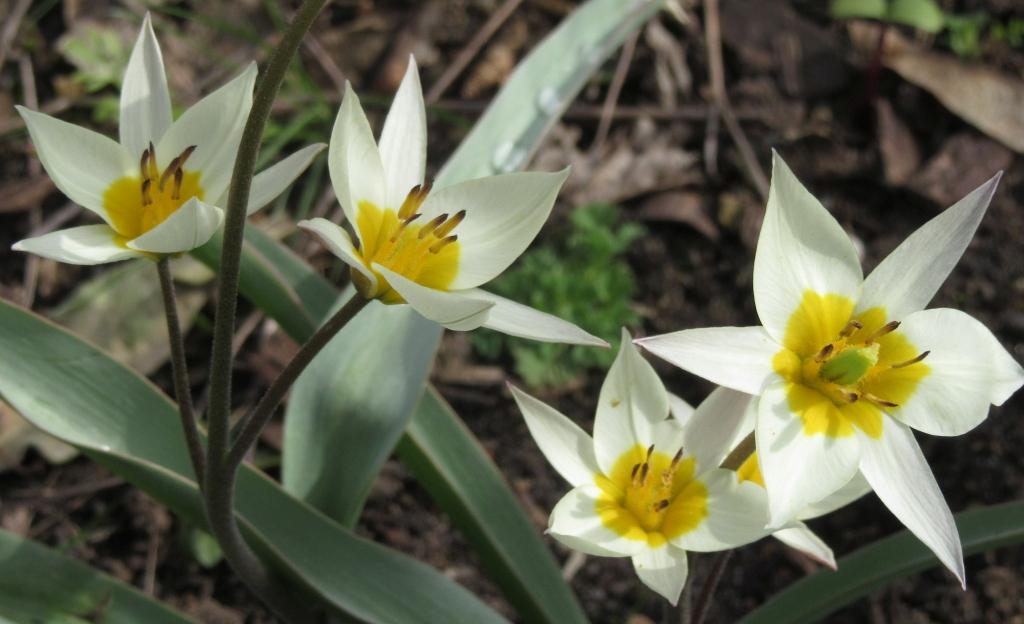 2021_04_10 Goldbek-Aue, Persische Tulpe Carolus Clusius - Tulipa Clusiana
