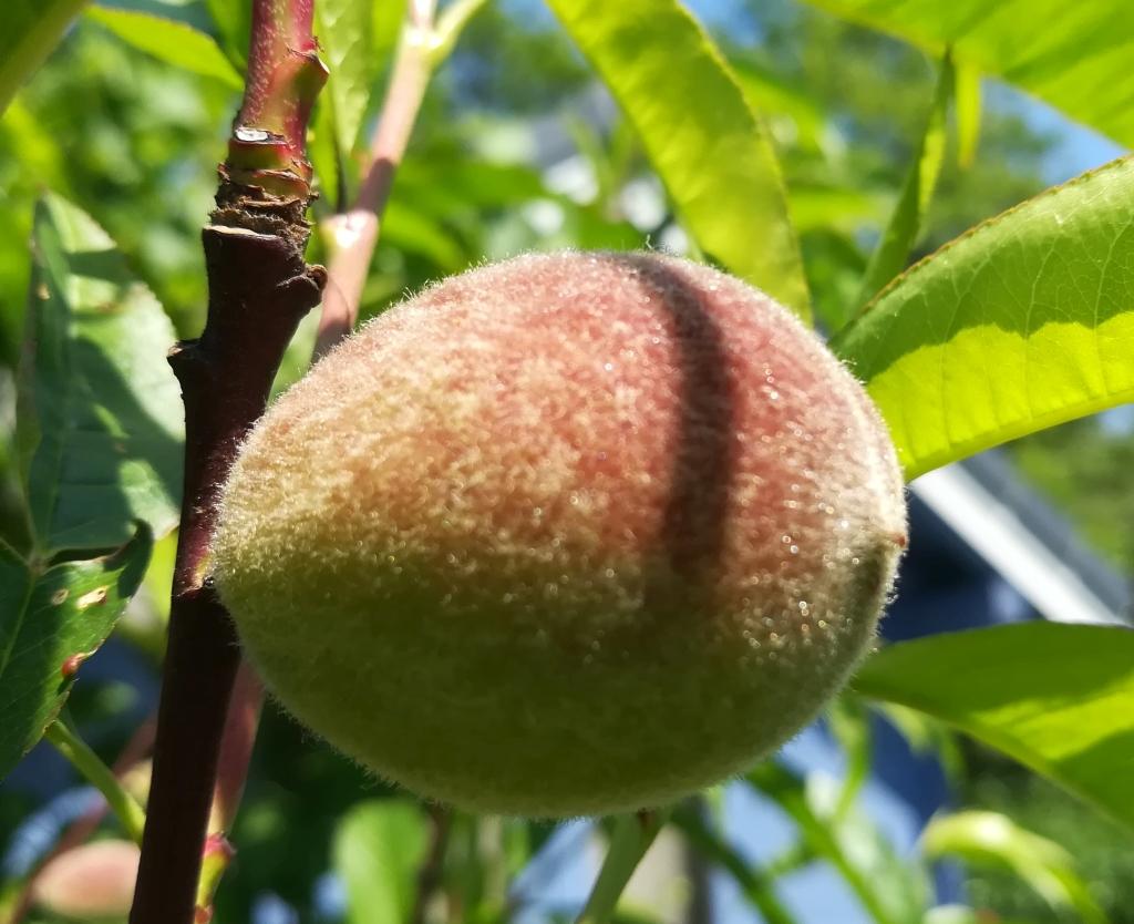 2021_06_17 Goldbek-Aue: Pfirsich