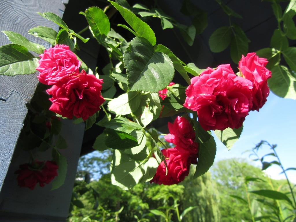 2021_06_27 Goldbek-Aue: Rambler-Rose